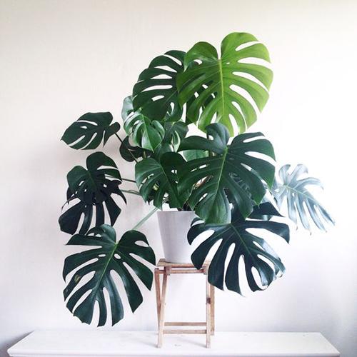 monstera-plant-3